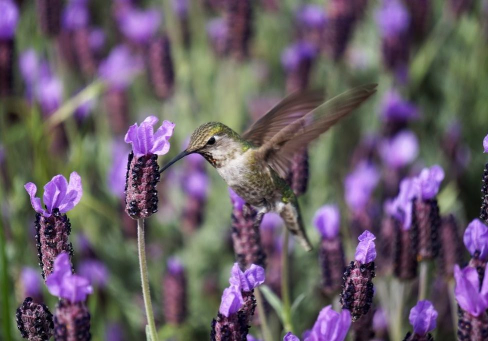 hummingbird with purple flowers