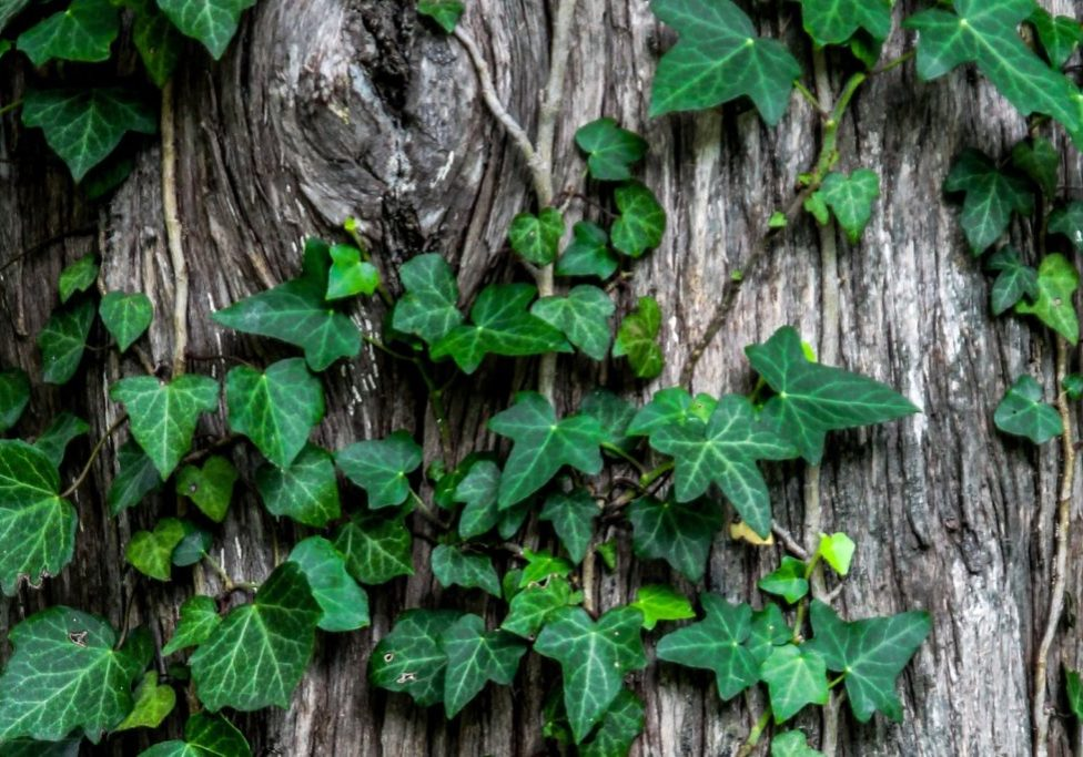 english ivy on a textured tree trunk with a knot