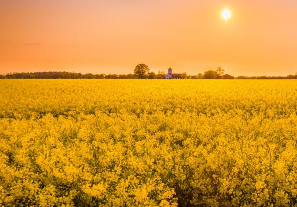 sunset over yellow field