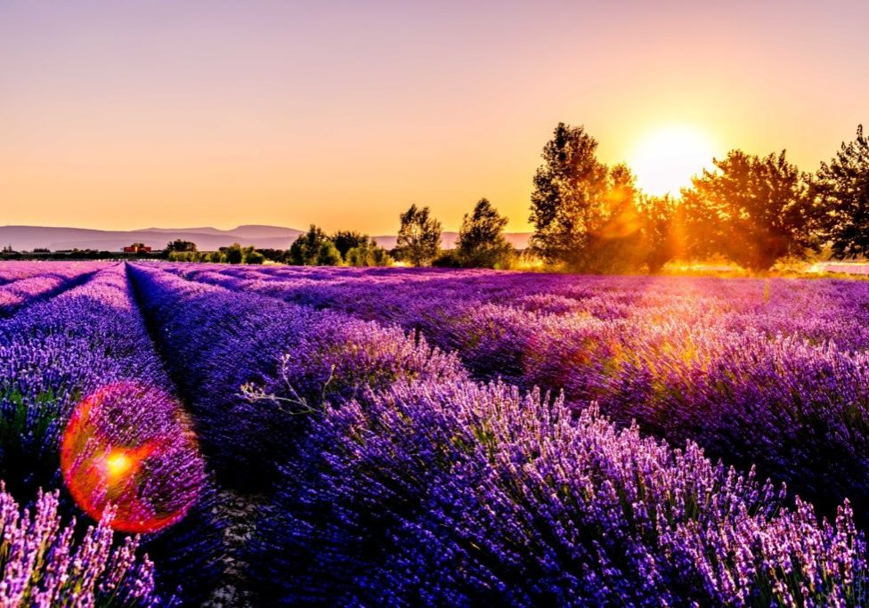 lavender plants in field with setting sun