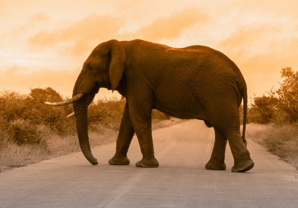 majestic elephant crossing in front of sunset