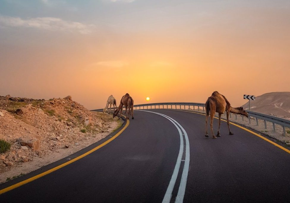 three camels walking on a paved road against the sunset