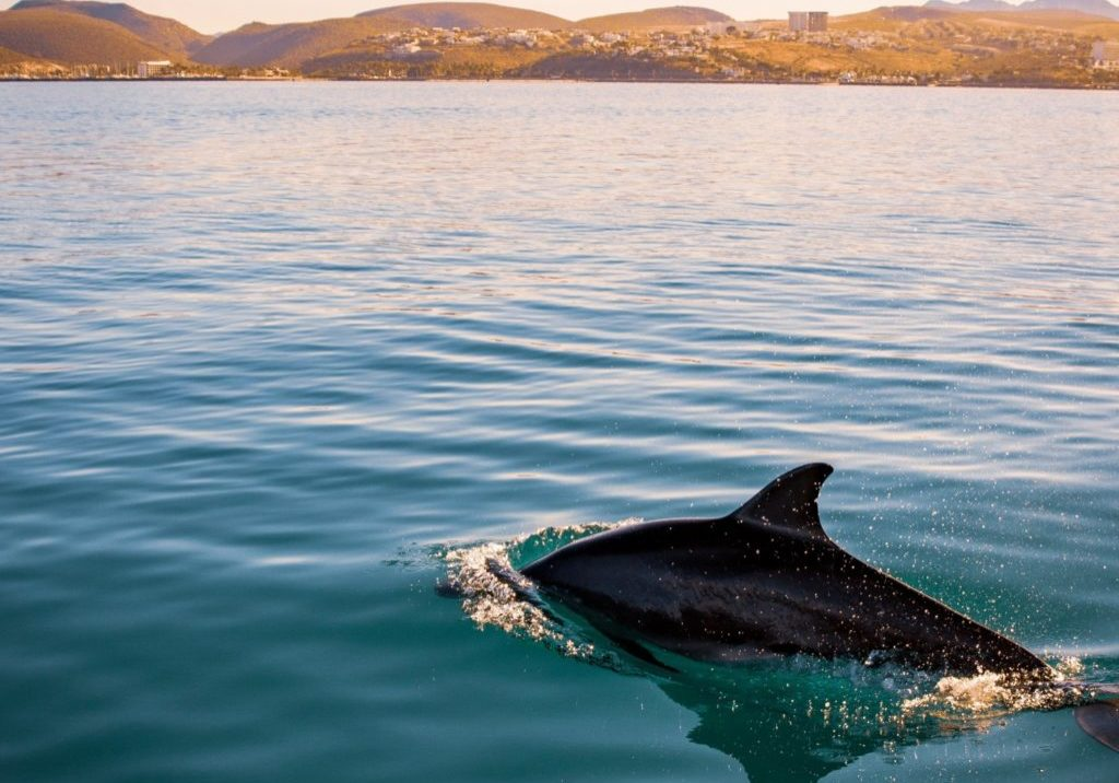 dolphin swimming towards shore