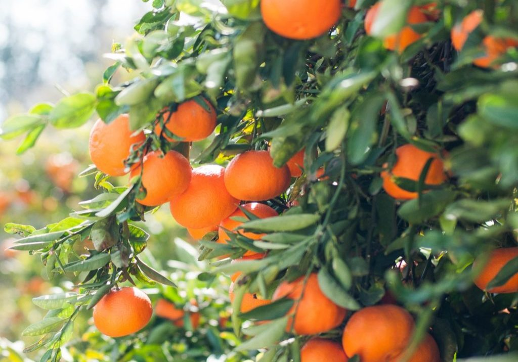 brightly colored tangerines on a green leafy tree