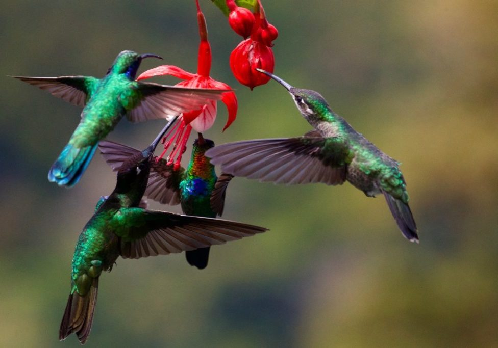 group of hummingbirds at red flower