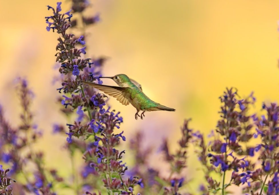 hummingbird with lavender