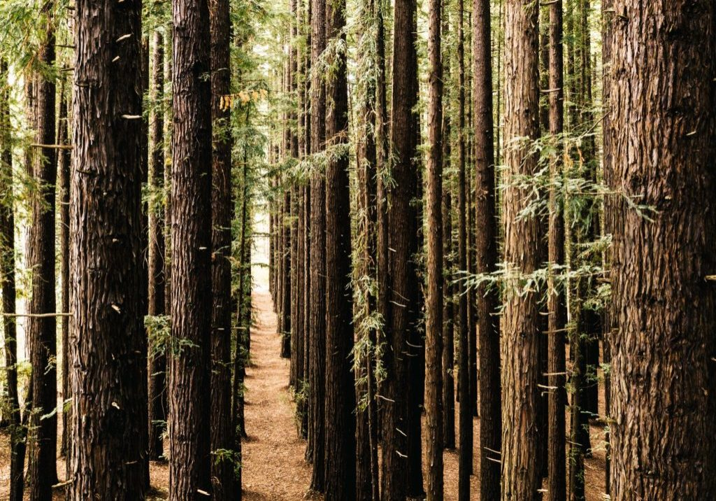 stand of tall pine trees symmetrically arranged