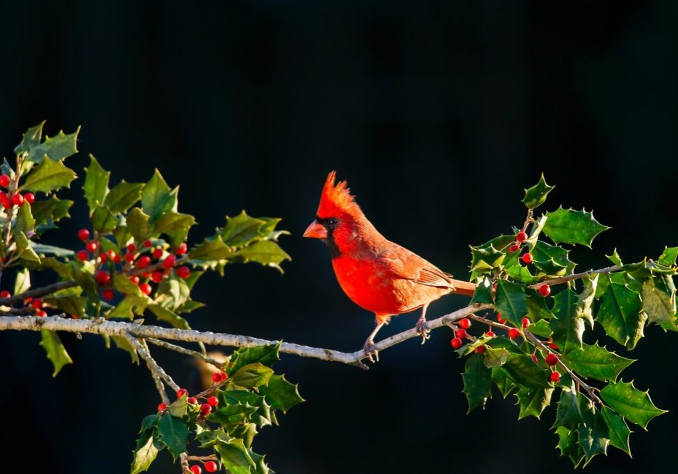 red cardinal on branch of holly with red berries